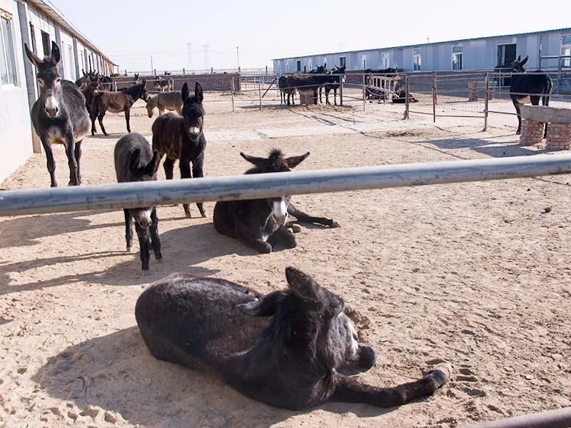 拴嘴驴养殖基地(二)