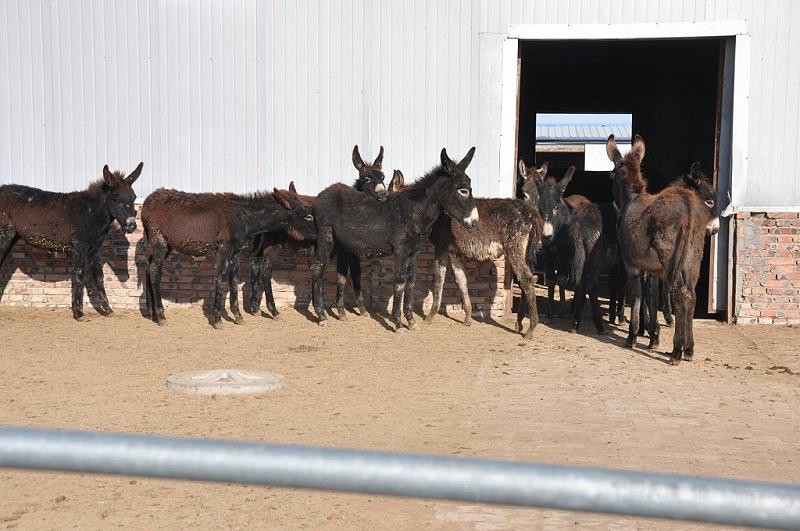 拴嘴驴驴肉厂家制作的是什么样的驴肉