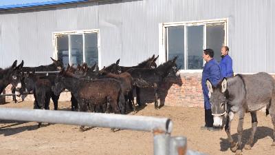 河北驴肉厂家采购经销厂家为什么是纯驴肉呢?