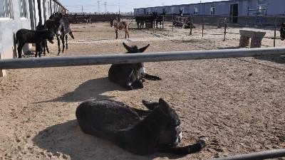 驴肉火锅的火爆程度造就了河北驴肉卷加工厂家的致富路
